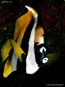 Bannerfish. by St&#233;phane Primatesta 